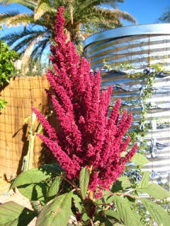 Amaranthus cruentus - Flowering plant species yielding amaranth grain